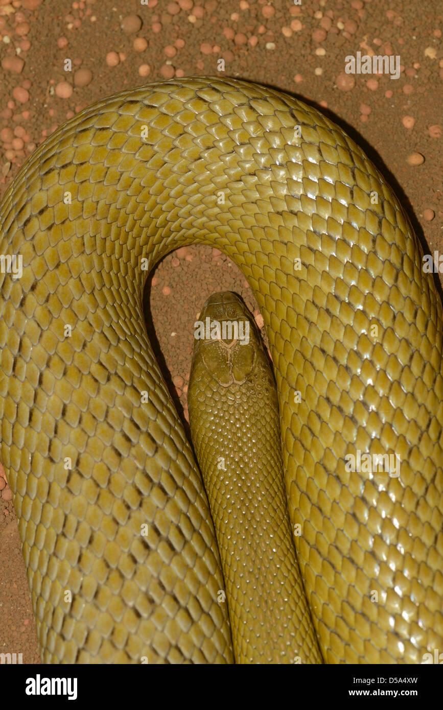 Inland Taipan (Oxyuranus microlepidotus) the world's most venomous land snake, Queensland Australia, captive - Stock Image