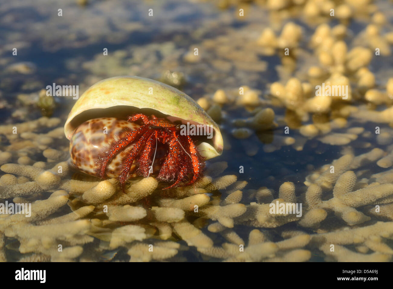 White-spotted Hermit Crab (Dardanus megistos) resting on coral at low tide, Queensland, Australia, November - Stock Image