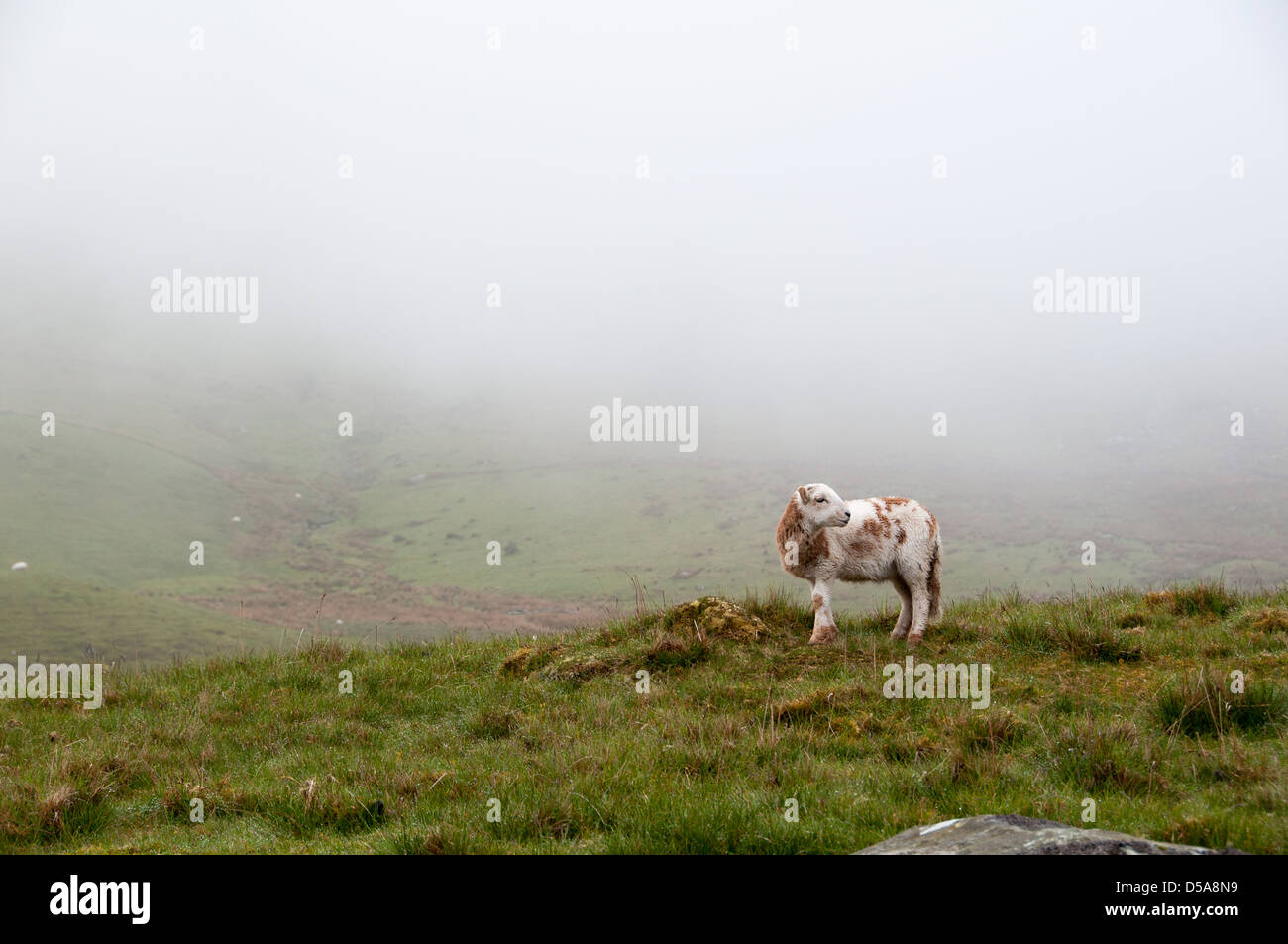 Sheep in Snowdon Stock Photo