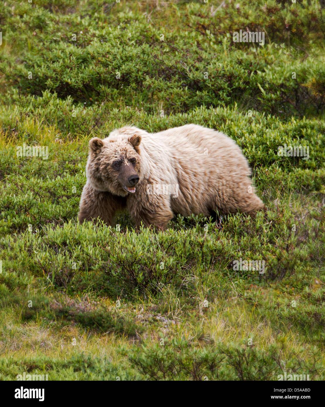 Grizzly bear (Ursus arctos horribilis), Thorofare Pass, Denali National Park, Alaska, USA - Stock Image