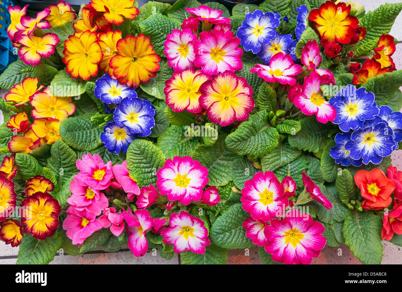 Polyanthus spring flowers colourful stock photos polyanthus spring display of spring flowers for sale within the grainger indoor market newcastle north east england uk mightylinksfo