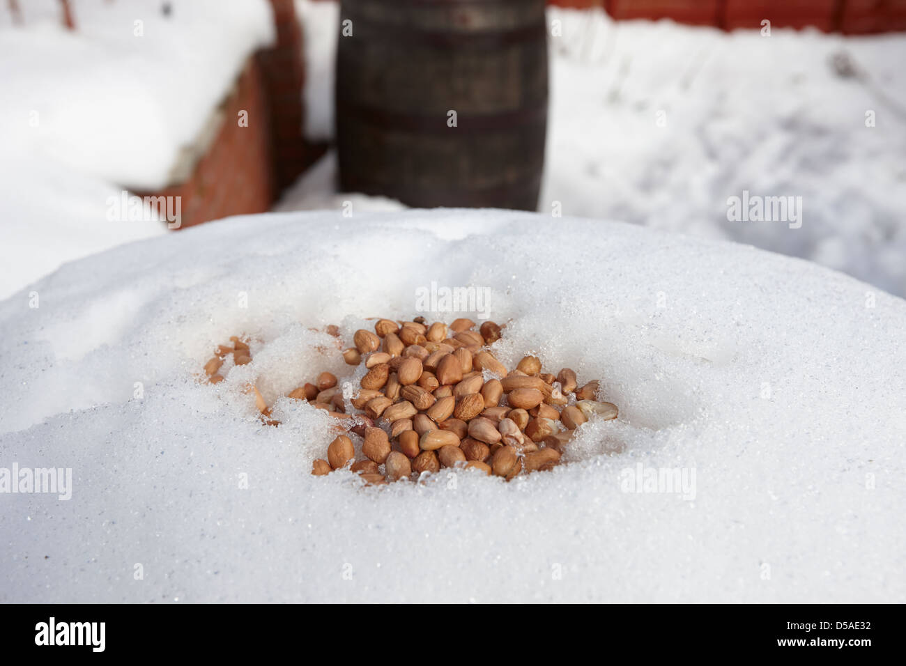 peanuts left out for wild garden birds in heavy snowfall county antrim northern ireland uk - Stock Image