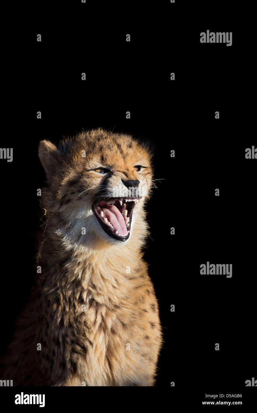 A close-up of cheetah cub (Acinonyx jubatus) showing teeth, black background,  Whipsnade Zoo, UK - Stock Image