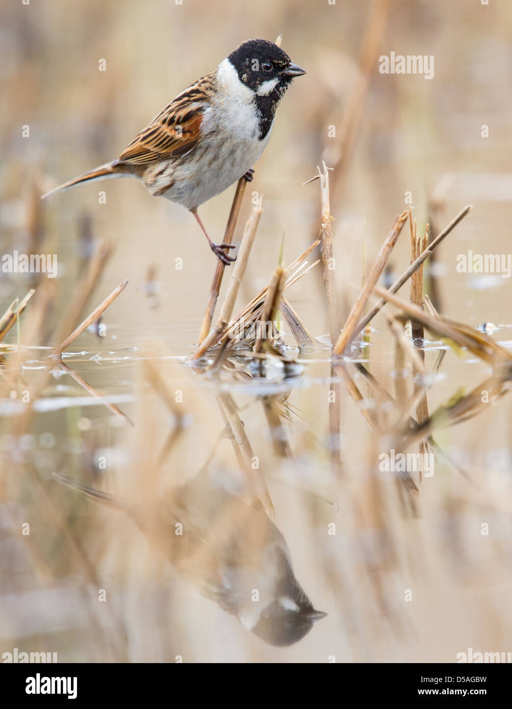 Close-up of a male reed bunting (Emberiza schoeniclus), Rainham marshes, England - Stock Image
