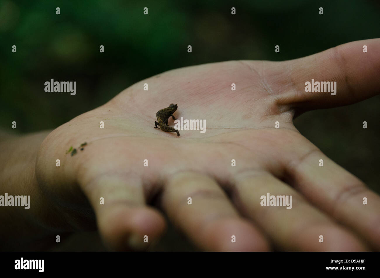 The world's smallest chameleon - Brookesia micra - found in the forest ground in Amber Mountain National Park, - Stock Image