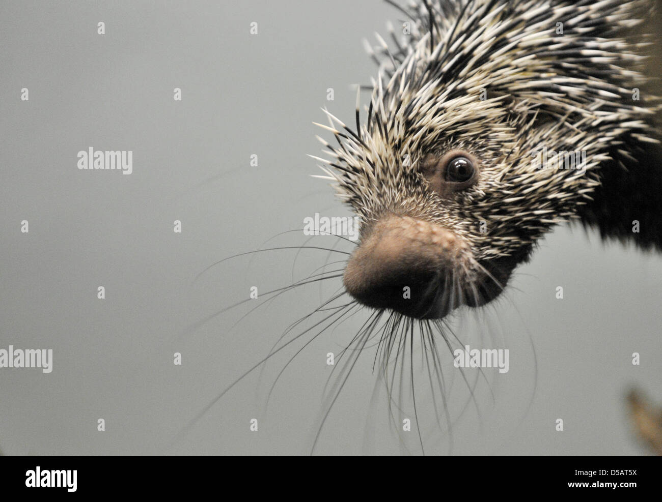 With great interest, this female Prehensile-tailed porcupine, or coendous, eyes the cameramen and photographeres - Stock Image