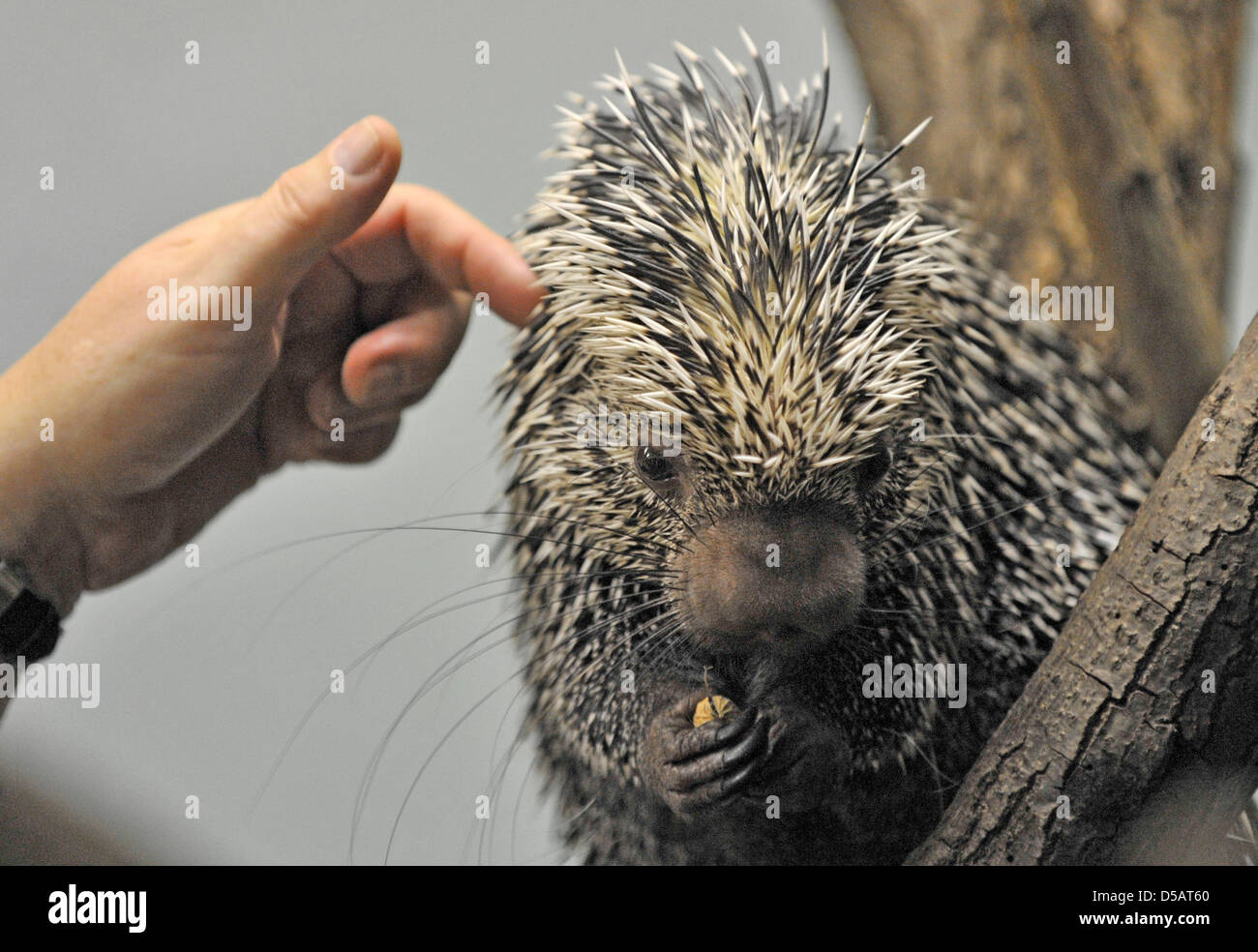 This female Prehensile-tailed porcupine, or coendous, enjoys being pettet by her keeper at the Zoo in Frankurt/Main, - Stock Image