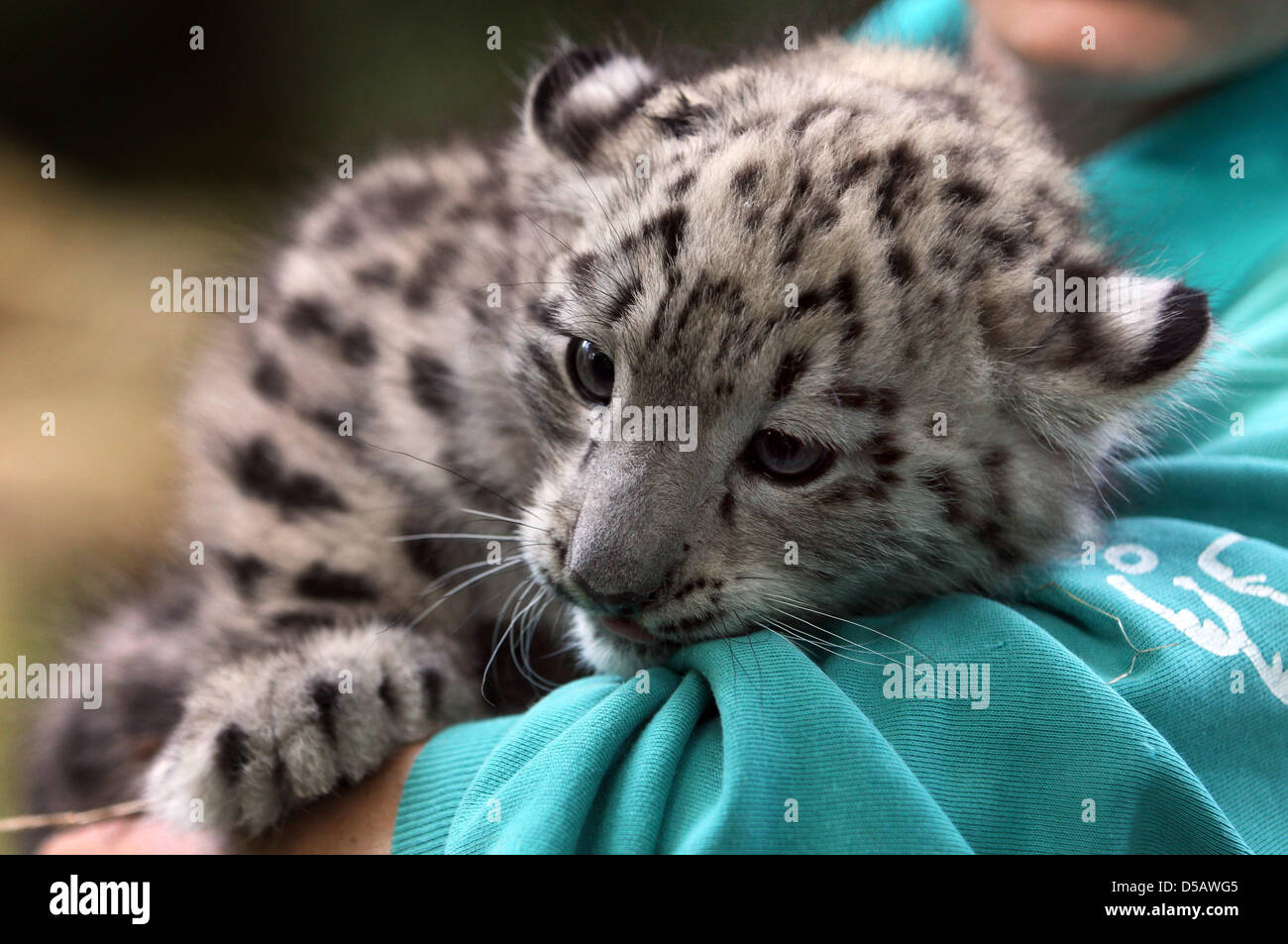 Zookeeper Ellen Hinz holds female snow leopard 'Alai' in Rostock, Germany, 19 July 2010. The zoo presented - Stock Image
