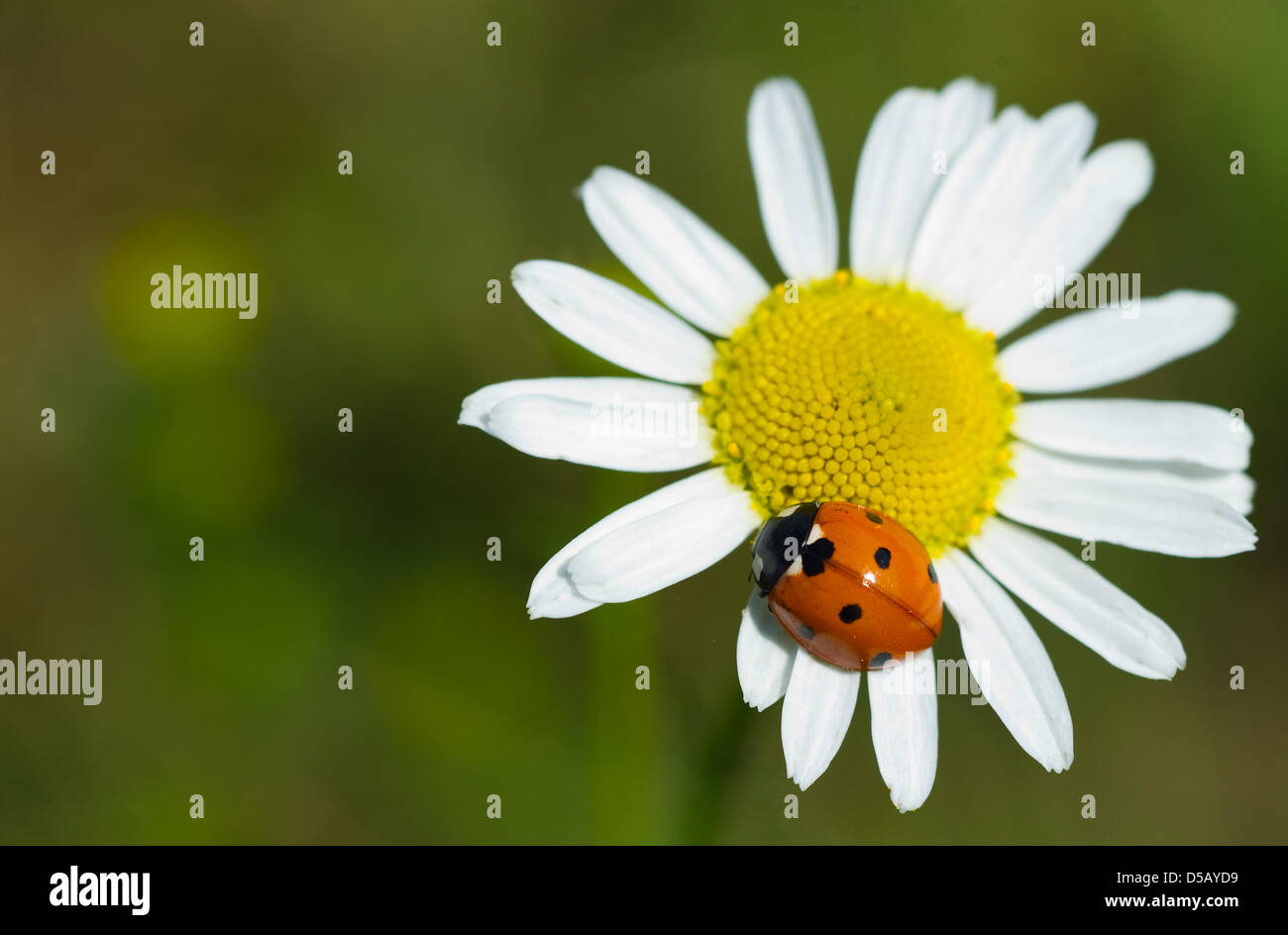 A ladybird sits on a camomile near Frankfurt Oder, Germany, 26 July 2010. The ladybird is appreciated for its usefulness - Stock Image