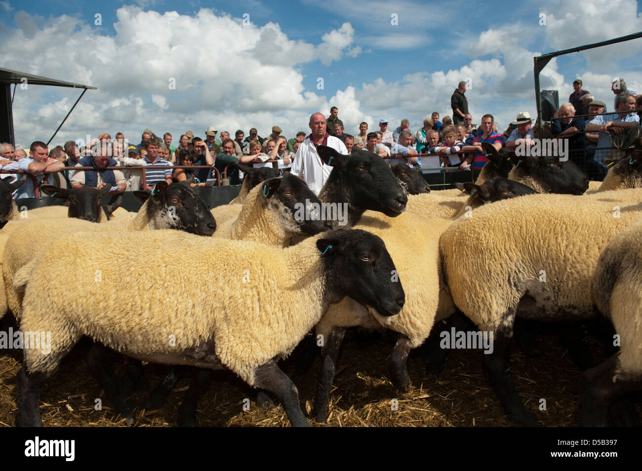 Suffolk crossbred breeding sheep in the ring at Thame sheep fair 2012 - Stock Image