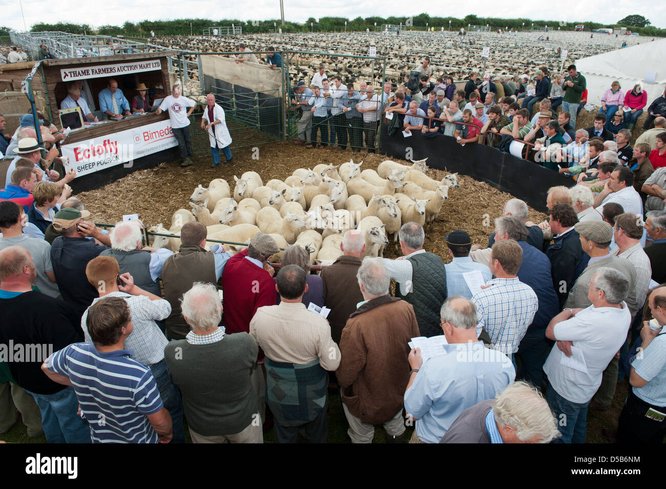 Breeding ewes in the ring at Thame sheep fair 2012 - Stock Image