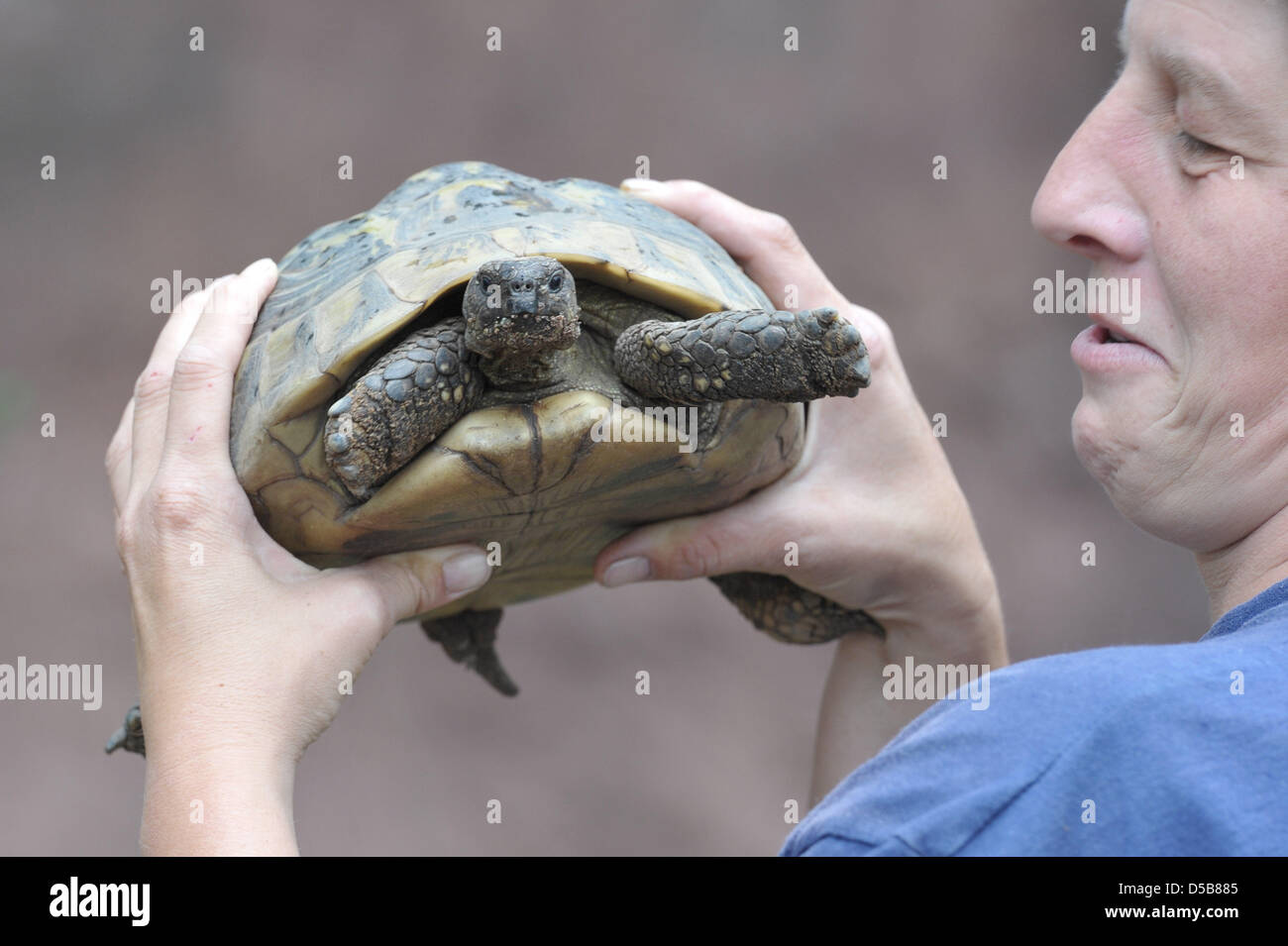 A Hermann's tortoise is held up by zoo keeper Ramona Such in the new enclosure 'Mediterraneum' in the - Stock Image