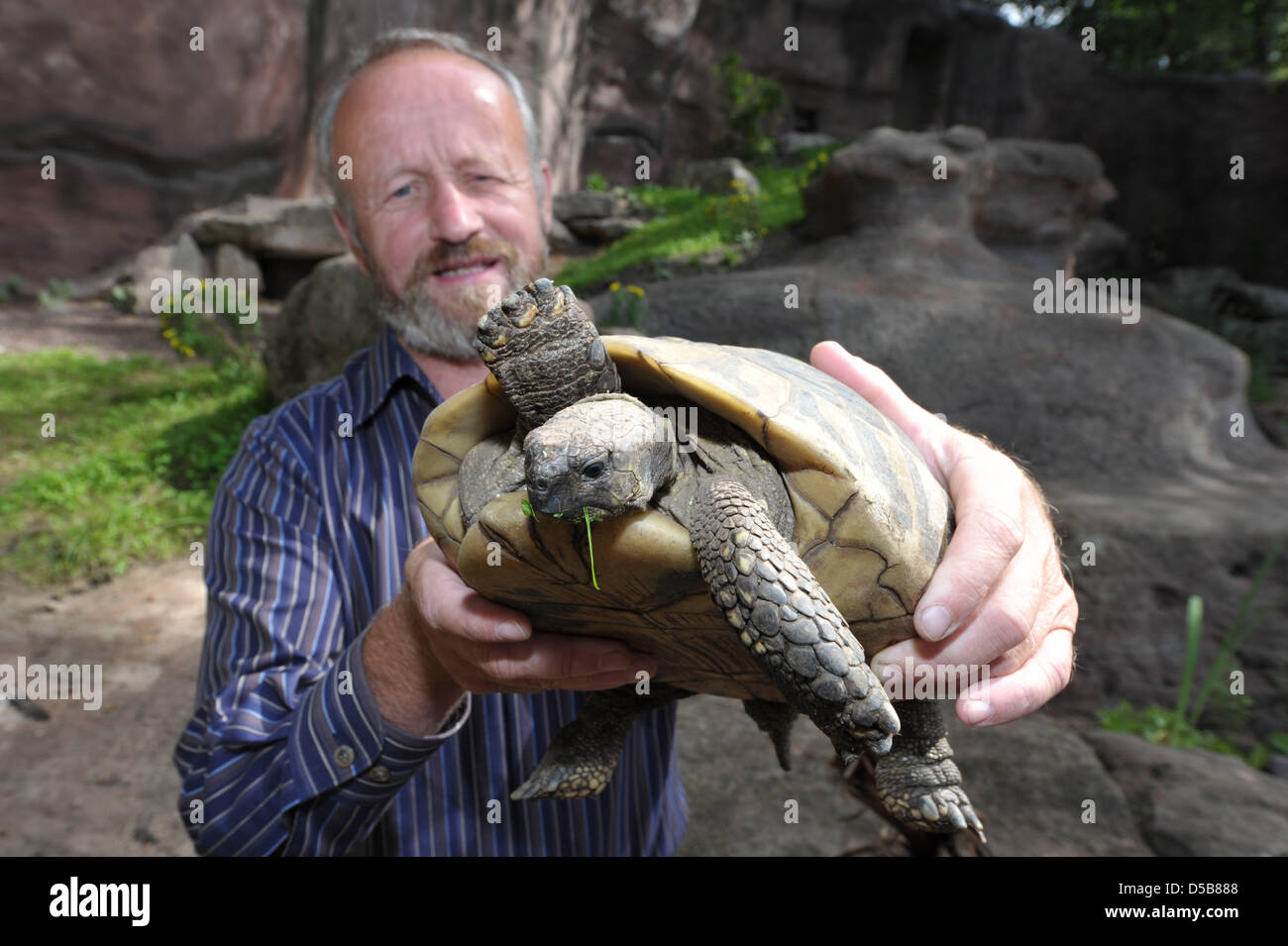 A Hermann's tortoise is held up by the acting zoo director Helmut Mägdefrau in the new enclosure 'Mediterraneum' - Stock Image