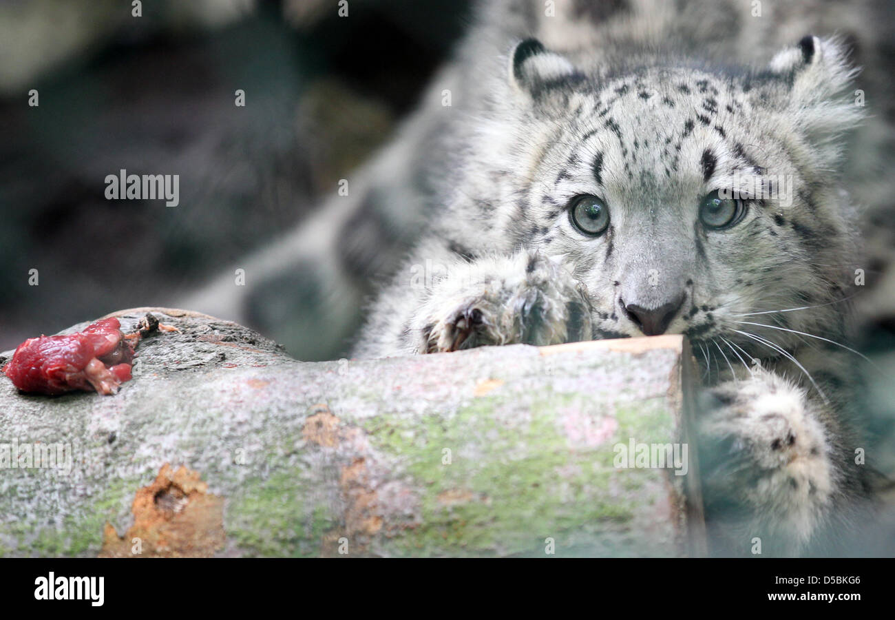 A young snow leopard cub stares at a piece of meat at the Zoo in Leipzig, Germany, 9 September 2010. the leopard - Stock Image