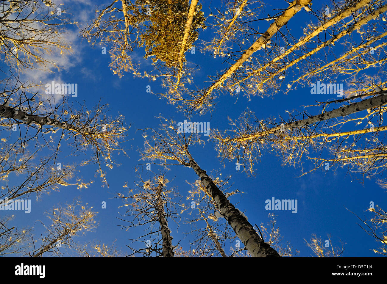 Aspen tree tops lighted by the warm rays of the setting winter sun - Stock Image
