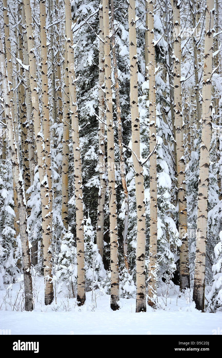 Aspen Trees Snow High Resolution Stock Photography And Images Alamy