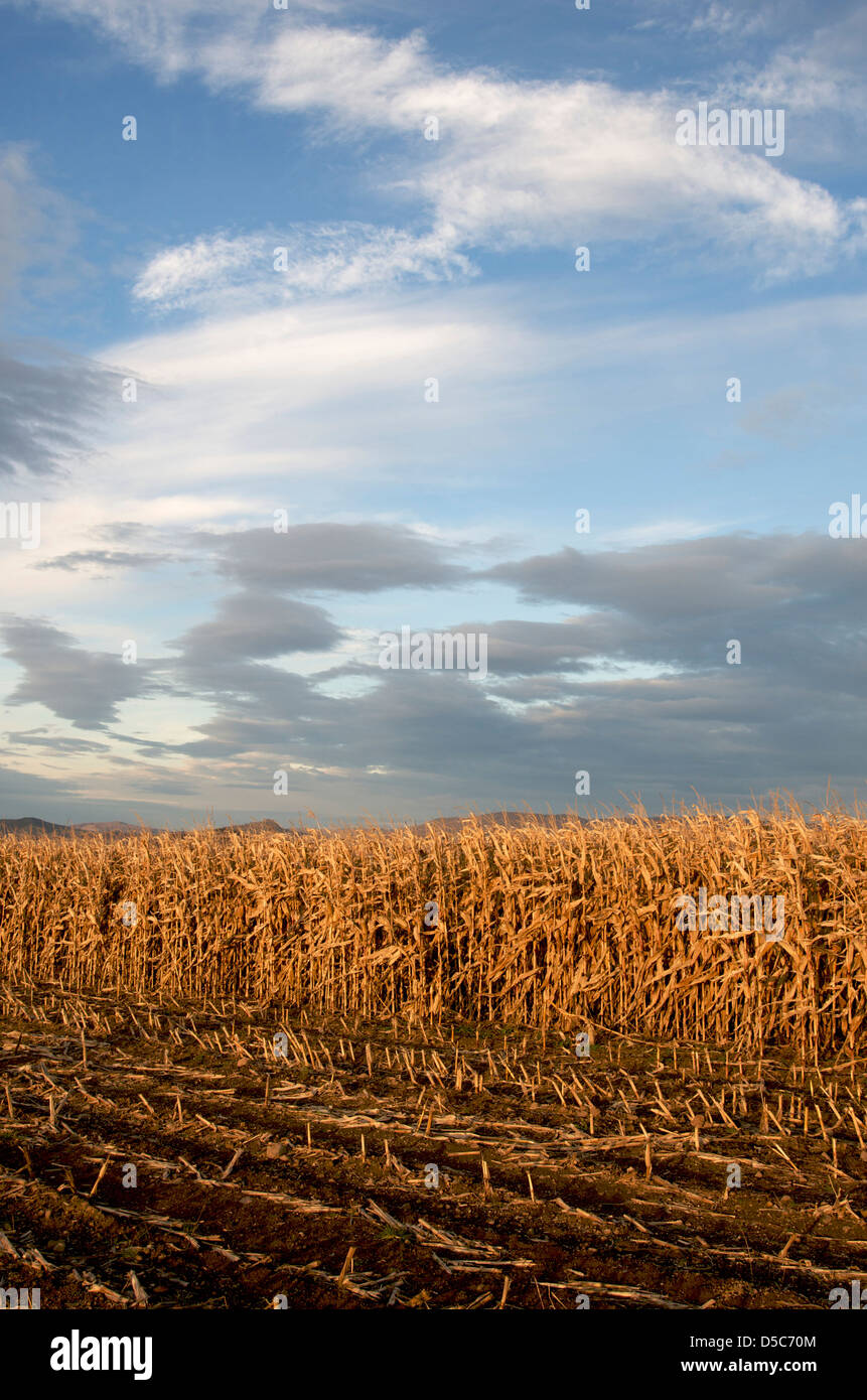 Field of maize. Auvergne. France - Stock Image