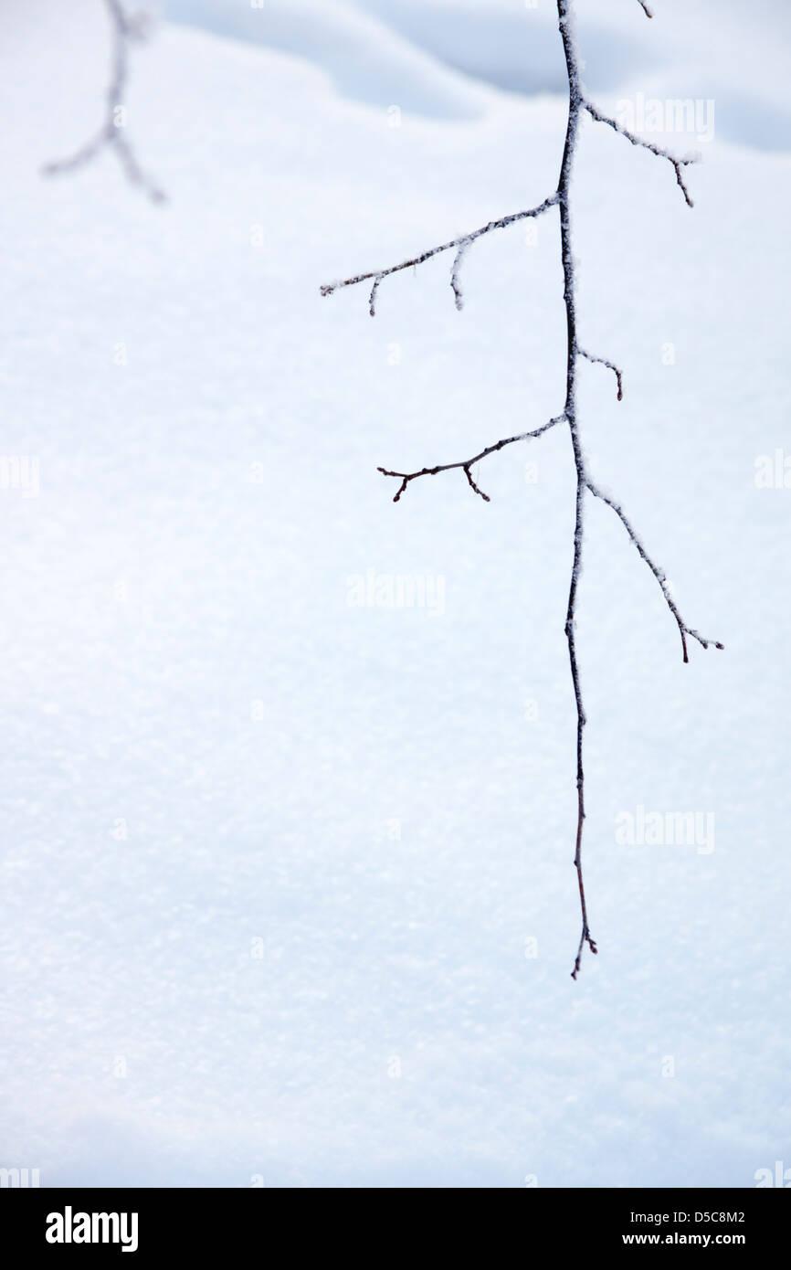Winter scene. Frozen twig over snow background. - Stock Image