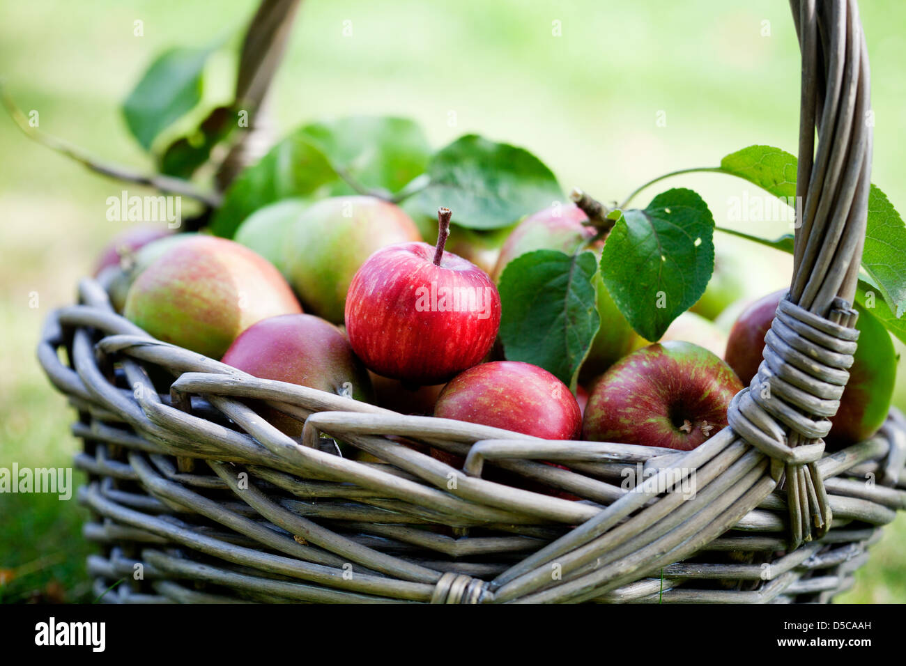 Fresh and colorful apples in basket, selective focus - Stock Image