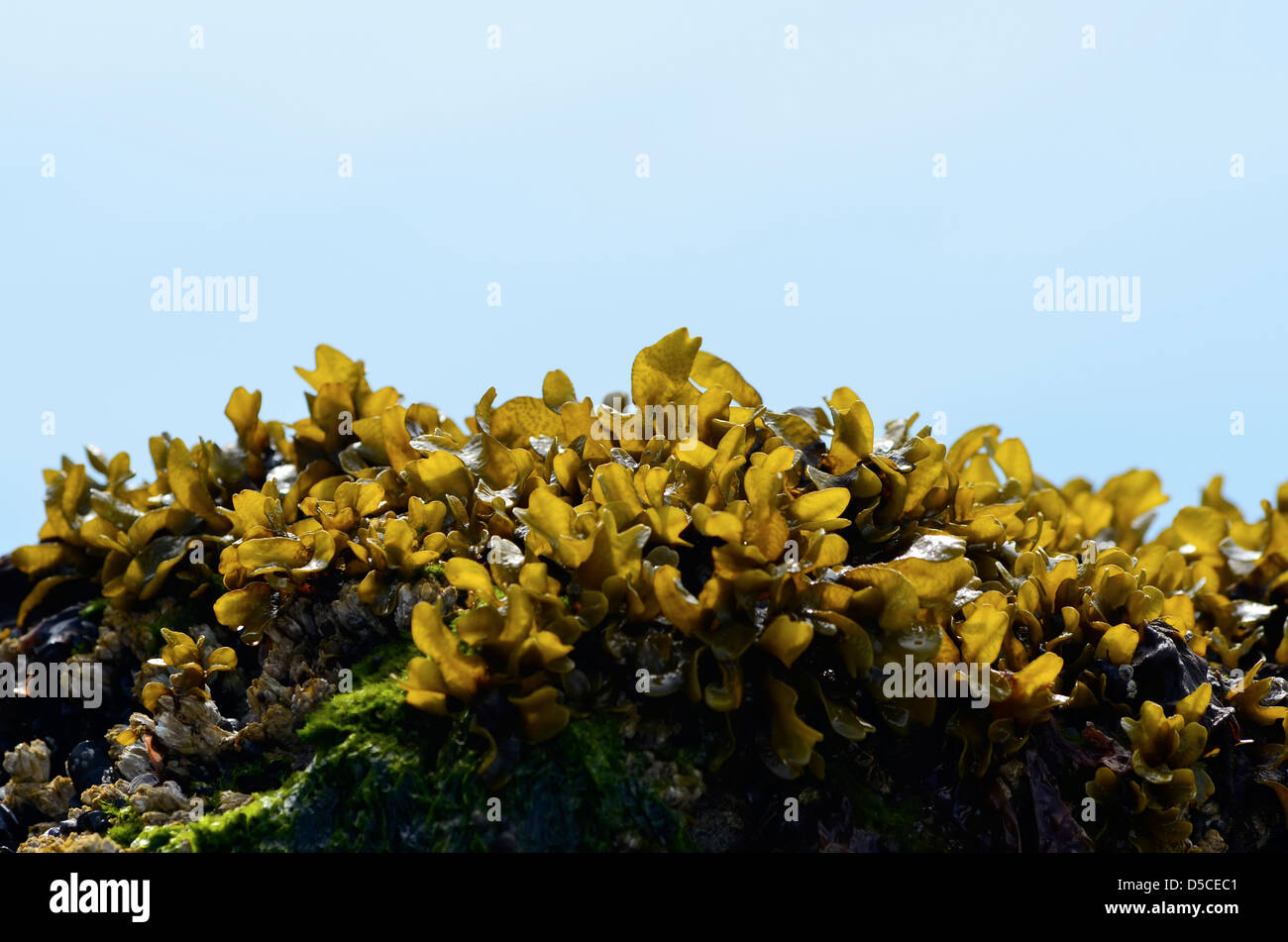 Fucus algae on the intertidal zone of the Alaskan coast. - Stock Image