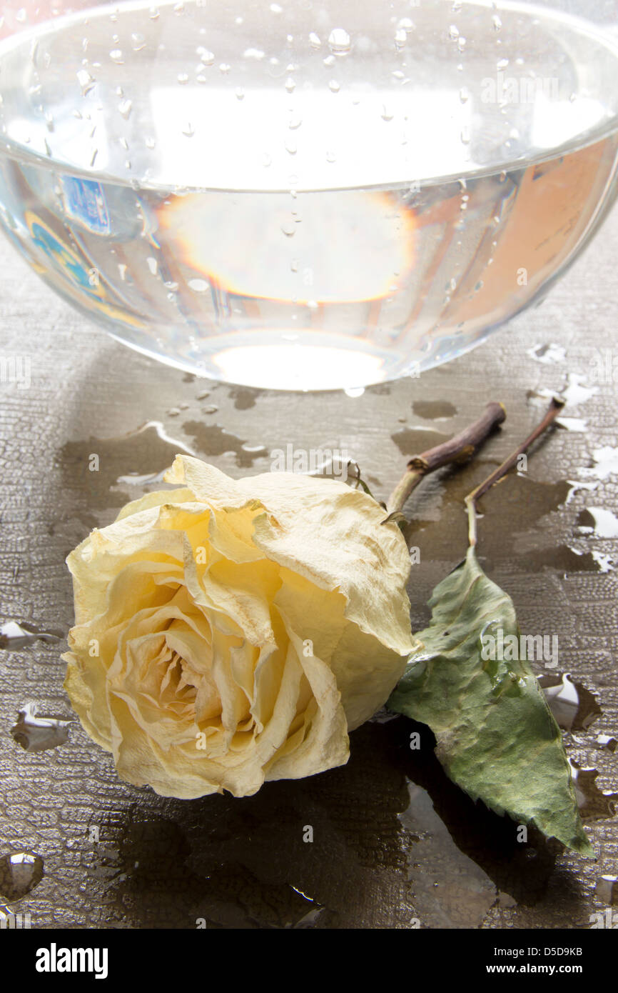 Dry white rose on wet background. Autumn concept. Stock Photo