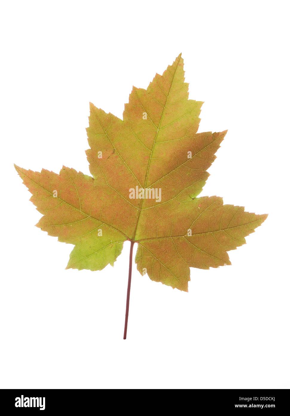 big colored maple leaf on white background - Stock Image