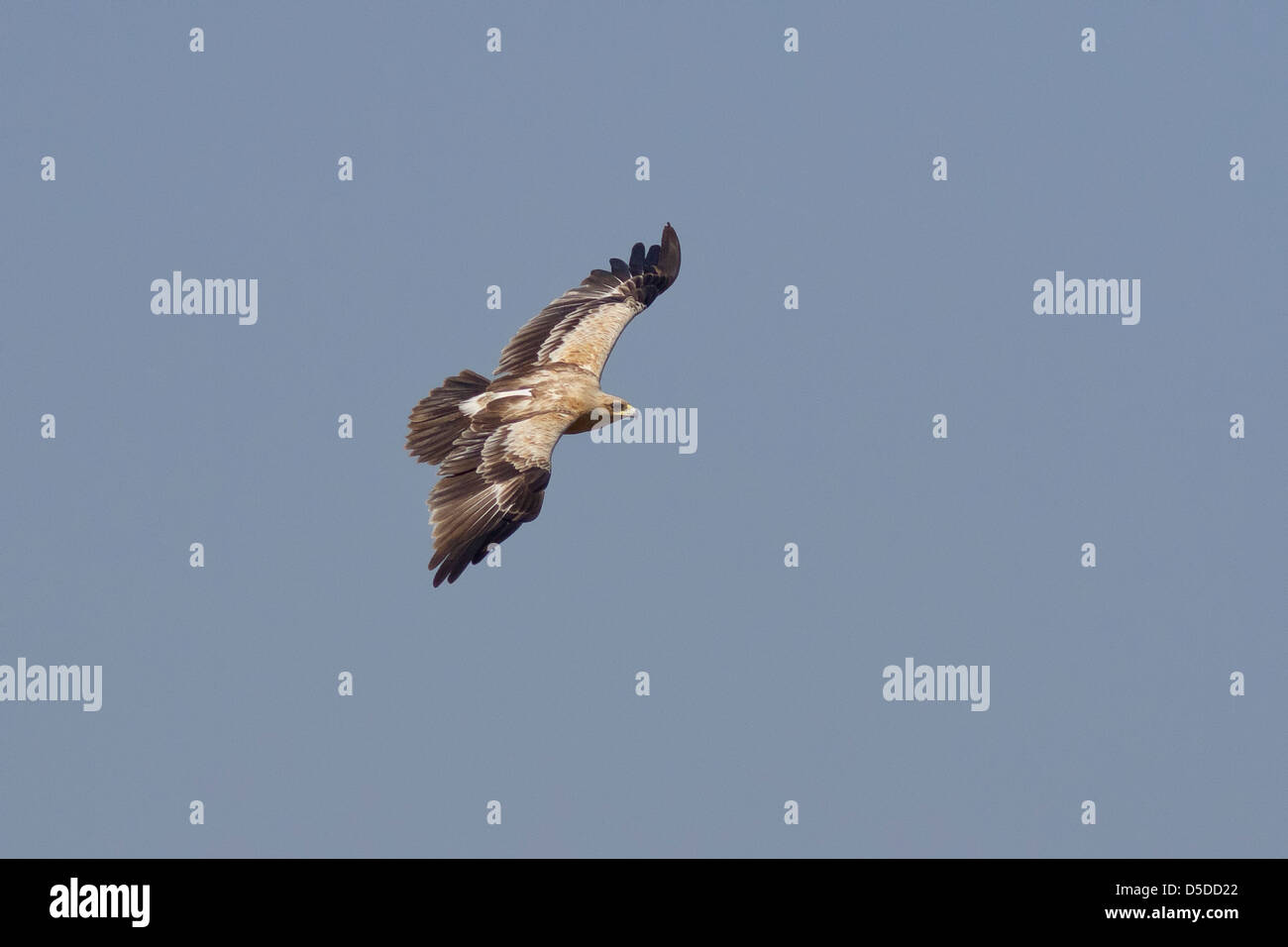 Greater spotted eagle (Aquila clanga) (light form) in flight - Stock Image