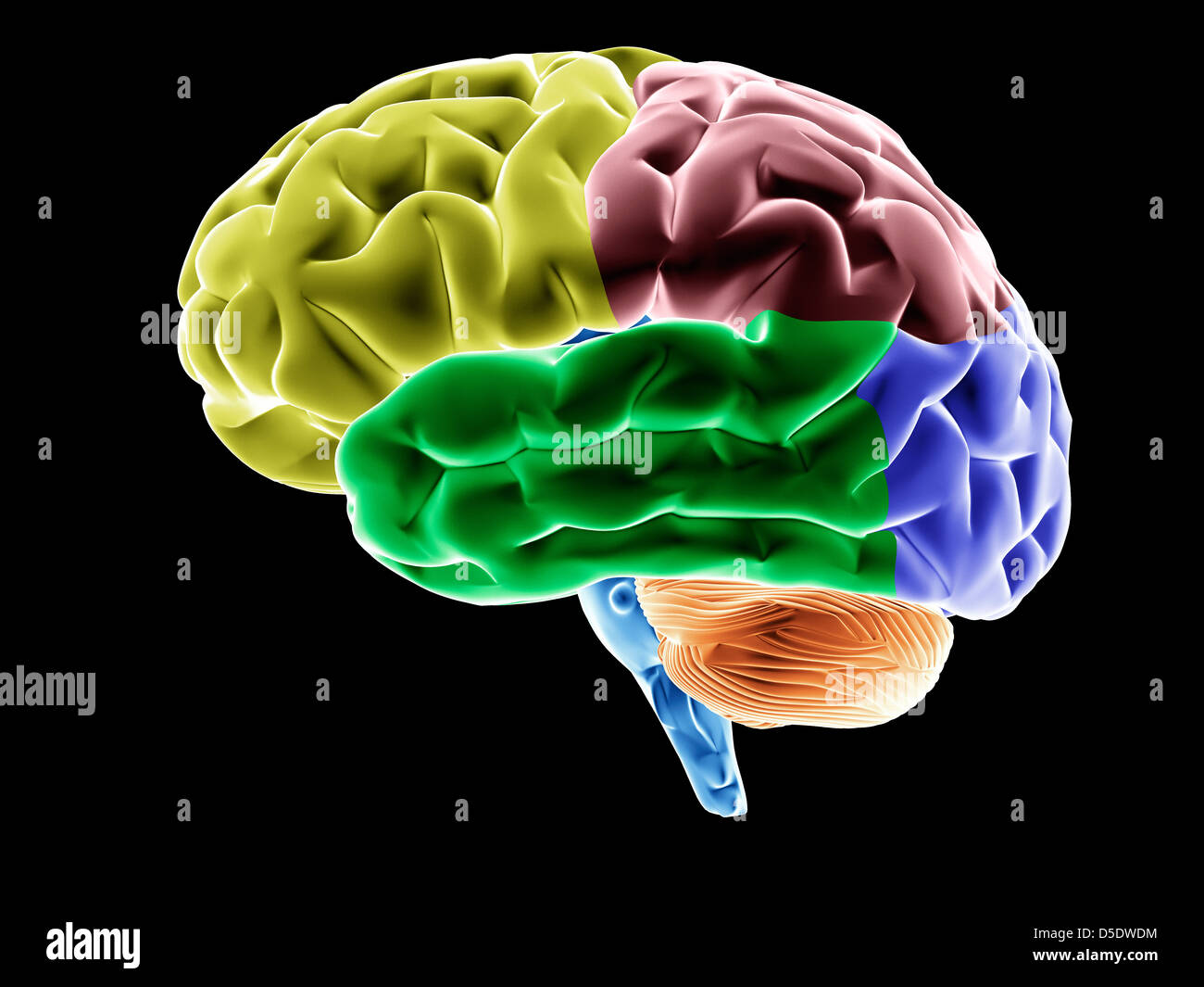 Model Of A Brain Cerebral Lobes In Different Colors