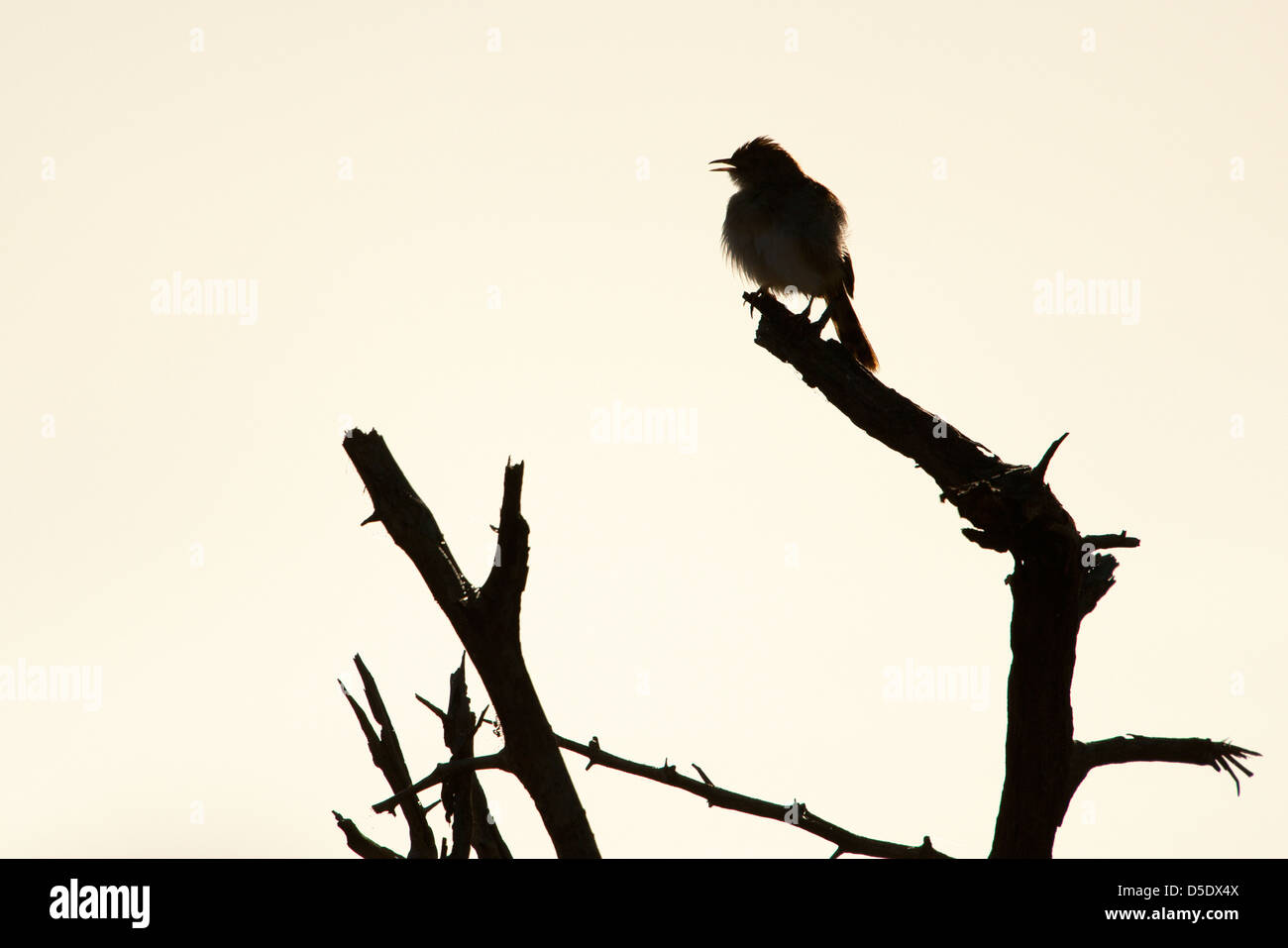 A Silhouette of a small Cisticolas bird sitting on a tree branch (Cisticola spp) - Stock Image
