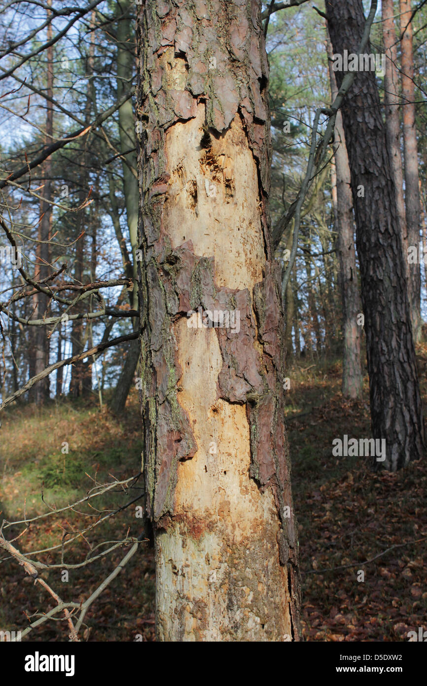 Diseased pine tree attacked by bark beetle - Stock Image