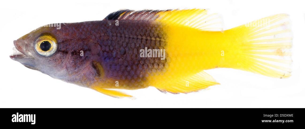 Bodianus rufus, Juvenile (Spanish Hogfish) - Stock Image
