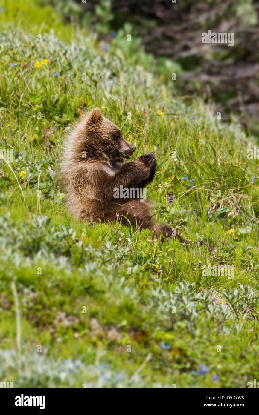 Grizzly bear cub (Ursus arctos horribilis), near Highway Pass, Denali National Park, Alaska, USA - Stock Image