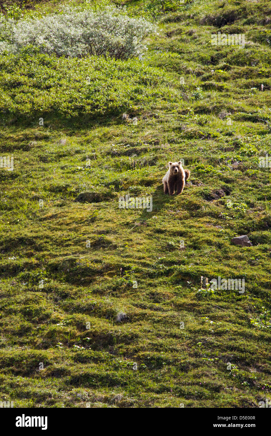 Grizzly bear (Ursus arctos horribilis) near Highway Pass, Denali National Park, Alaska, USA - Stock Image