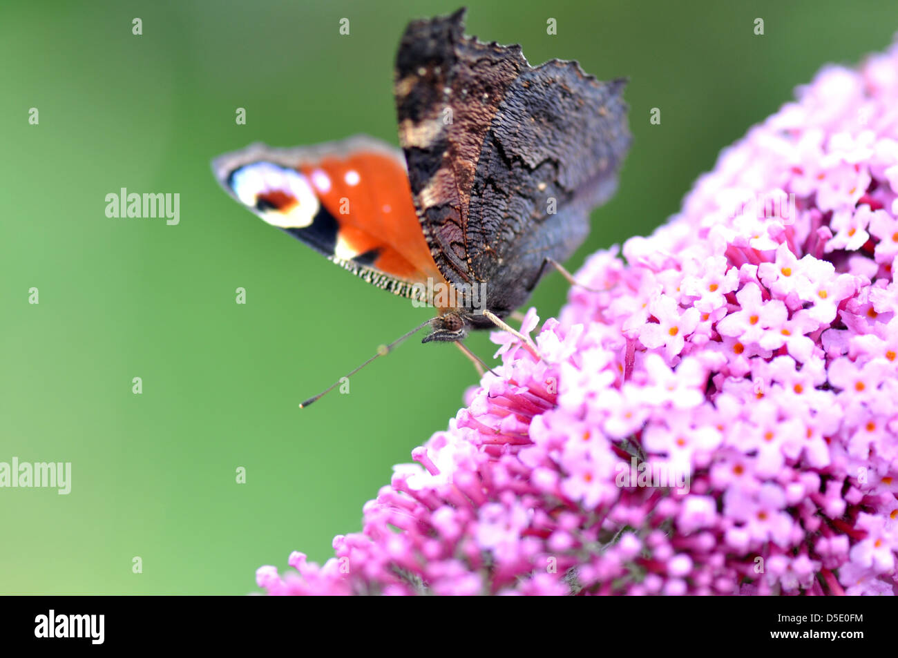 A peacock butterfly on Lilac flower. - Stock Image