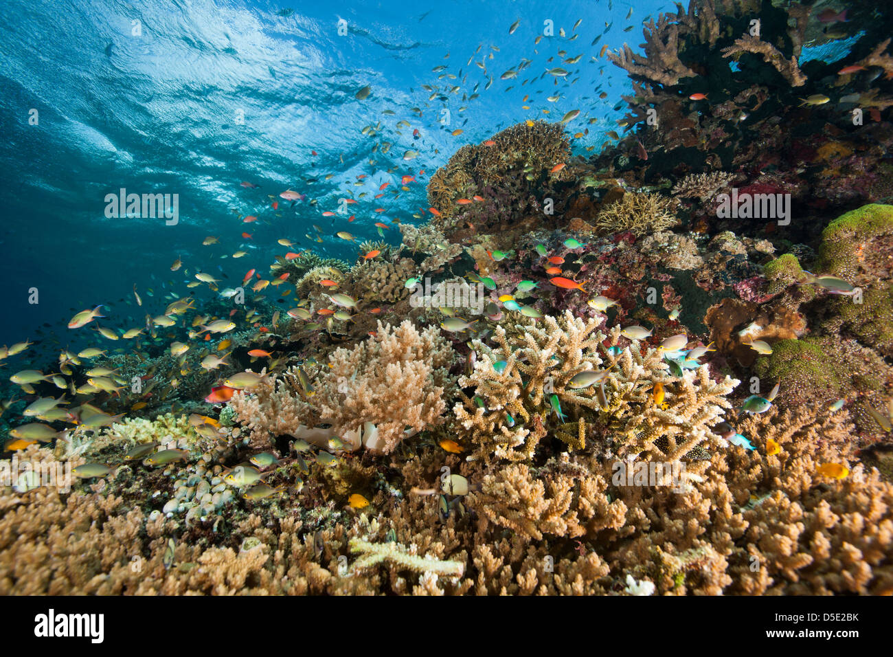 Schools of tropical fish with soft and hard corals on a reef off Menjangan Island Bali, Indonesia. - Stock Image
