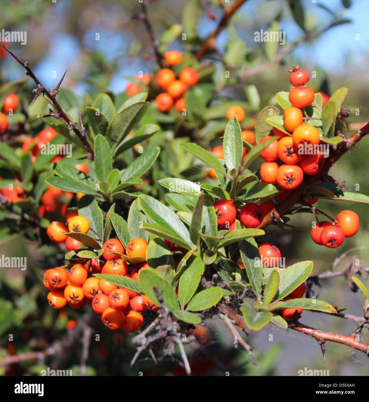 The bright orange berries of the cotoneaster plant a ...