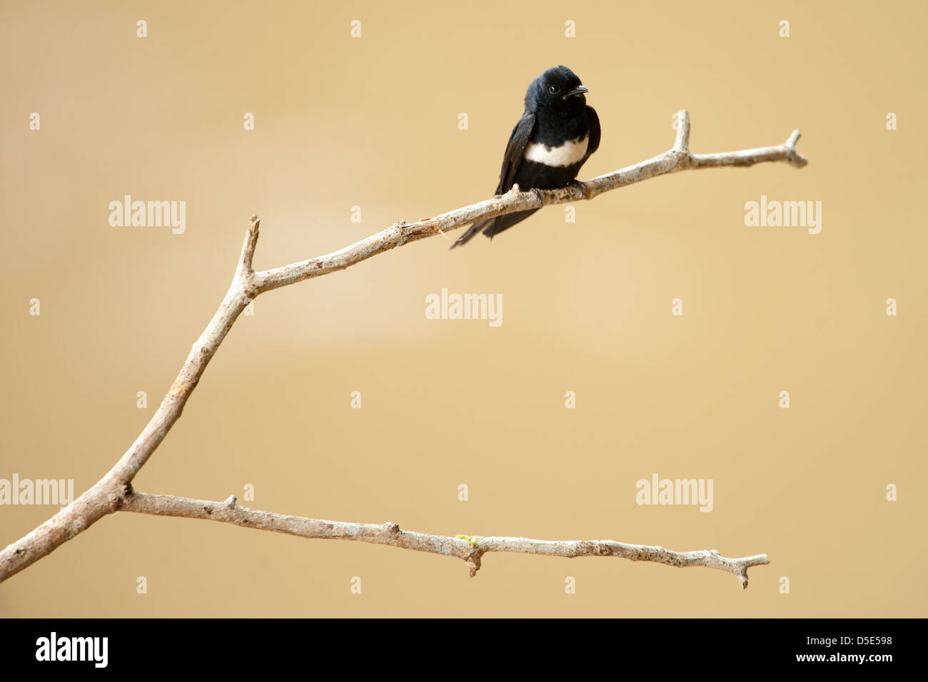 A White-chested Swift sitting on a branch(Cypseloides lemosi) - Stock Image