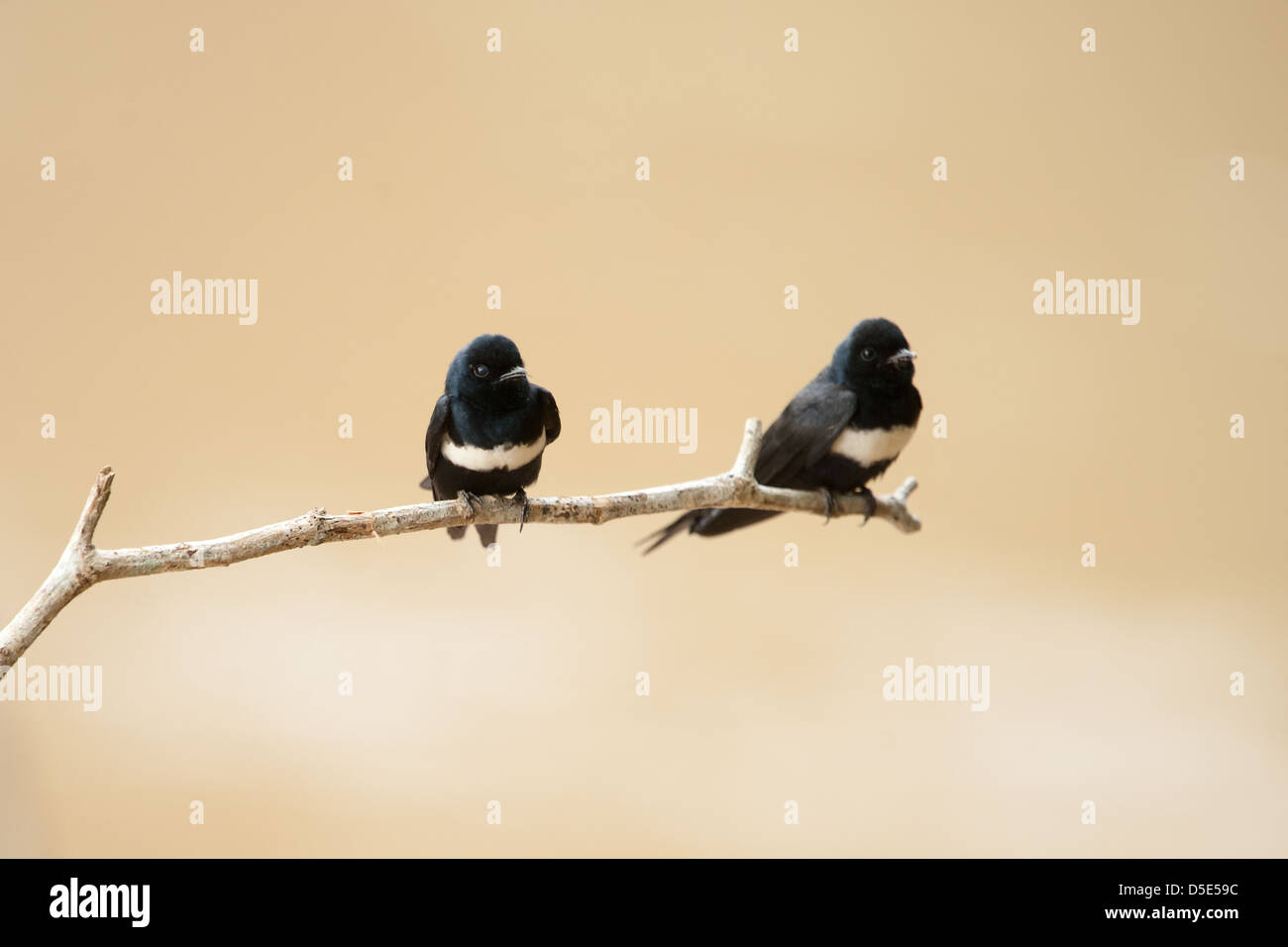 Two White-chested Swift sitting on a branch (Cypseloides lemosi) - Stock Image