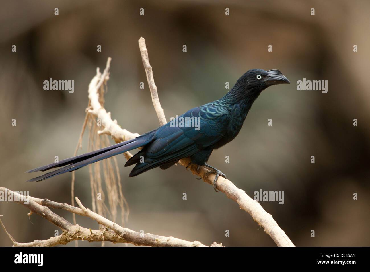 A Smooth-Billed Ani sitting in a branch (Crotophaga ani) - Stock Image