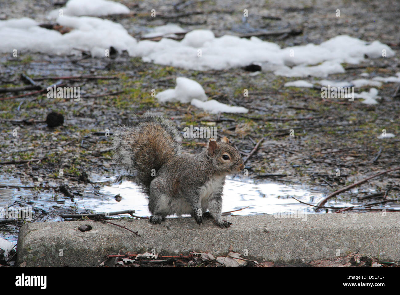 Tree squirrel,profiles,on a concrete parking block,during,a soggy 'late-winter' day. Stock Photo