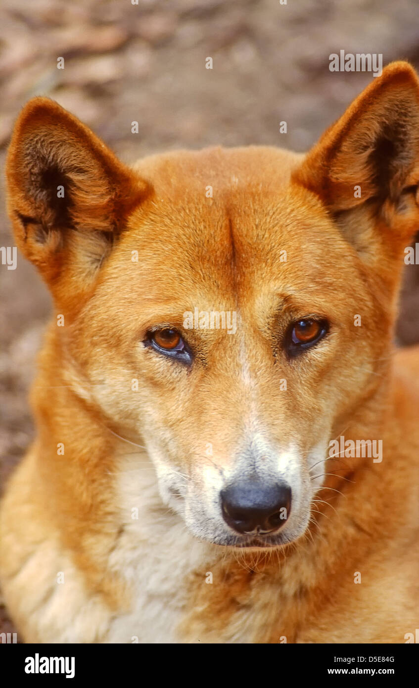 The dingo (Canis lupus dingo) is a free-roaming dog found mainly in Australia, as well as southeast Asia, Stock Photo