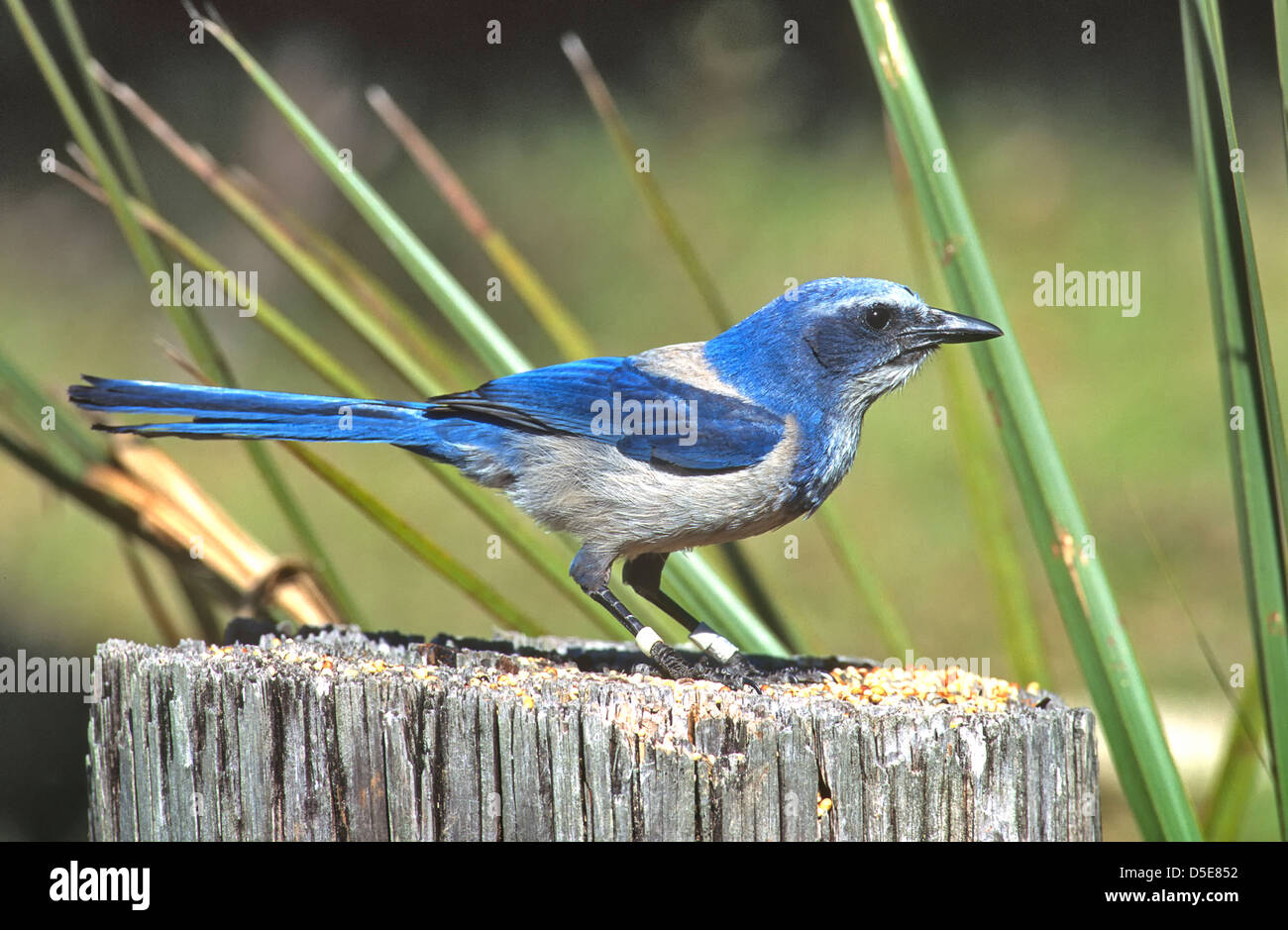The Florida Scrub Jay (Aphelocoma coerulescens is one of the species of scrub jay native to North America. Stock Photo