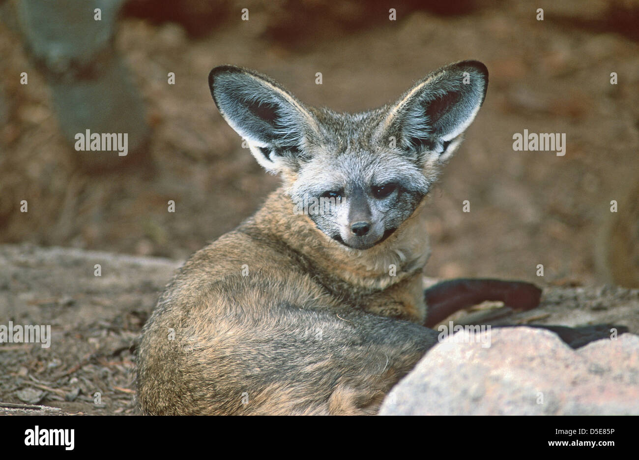 The bat-eared fox (Otocyon megalotis) is a canid of the African savanna, named for its large ears Stock Photo