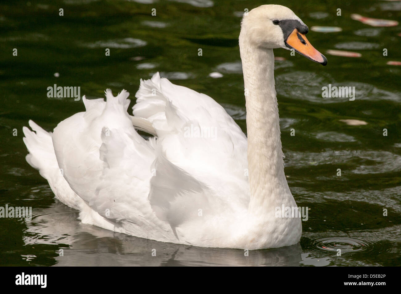 Mute Swan Cygnus olor  floating around looking regal on the lake. Stock Photo