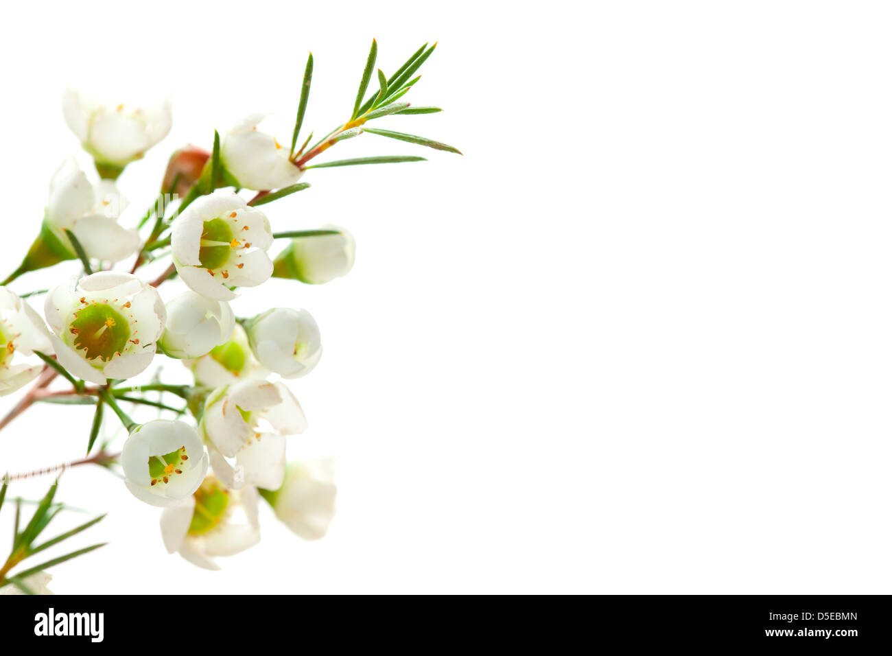 white background with flower, empty space on right for text - Stock Image