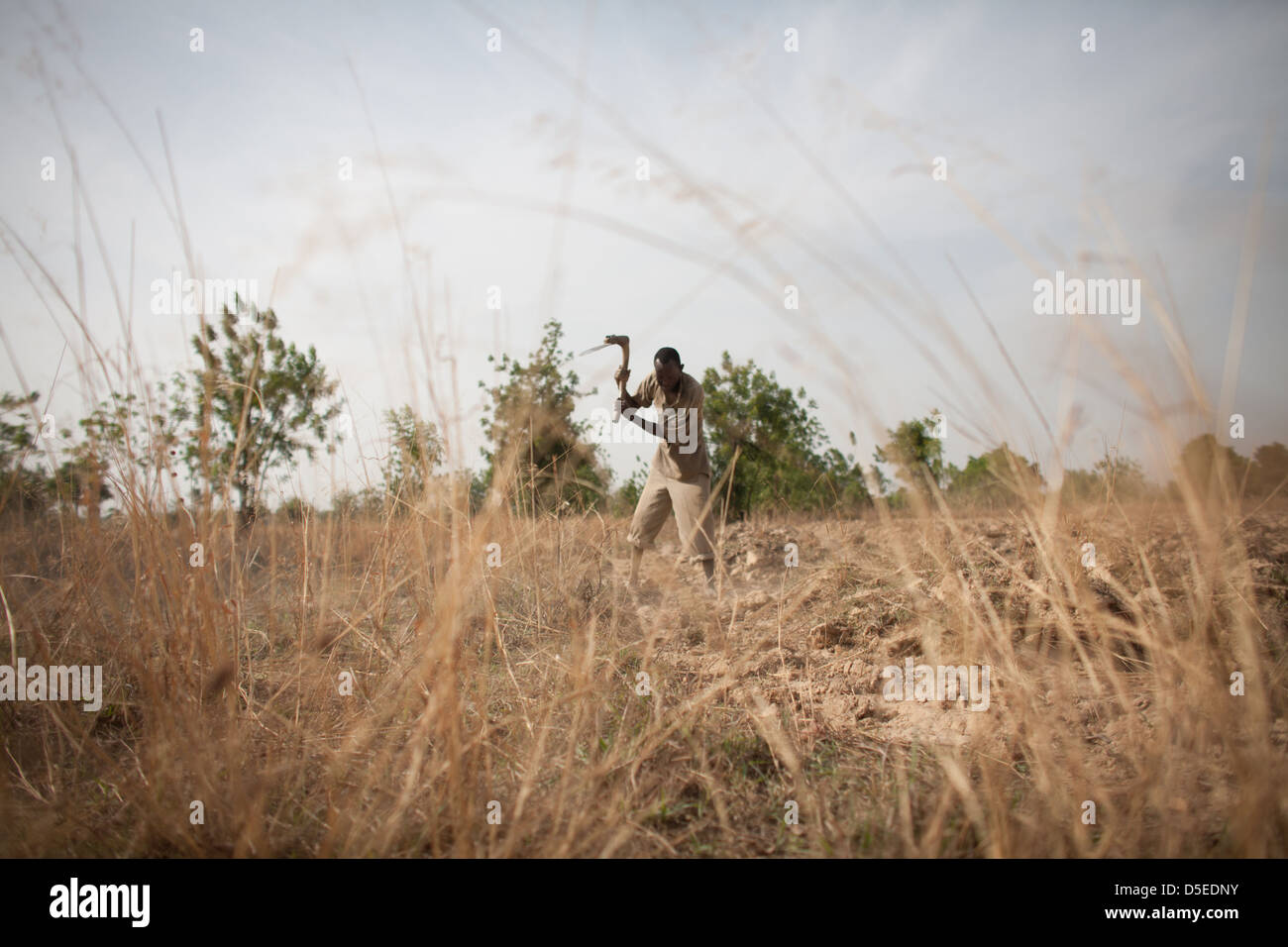 A man harvests Yams on his farm in Nandom, Ghana. - Stock Image