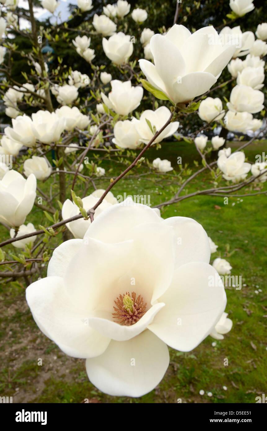 Tulip Tree In Bloom Riva Del Garda Italy Stock Photo 55022829 Alamy