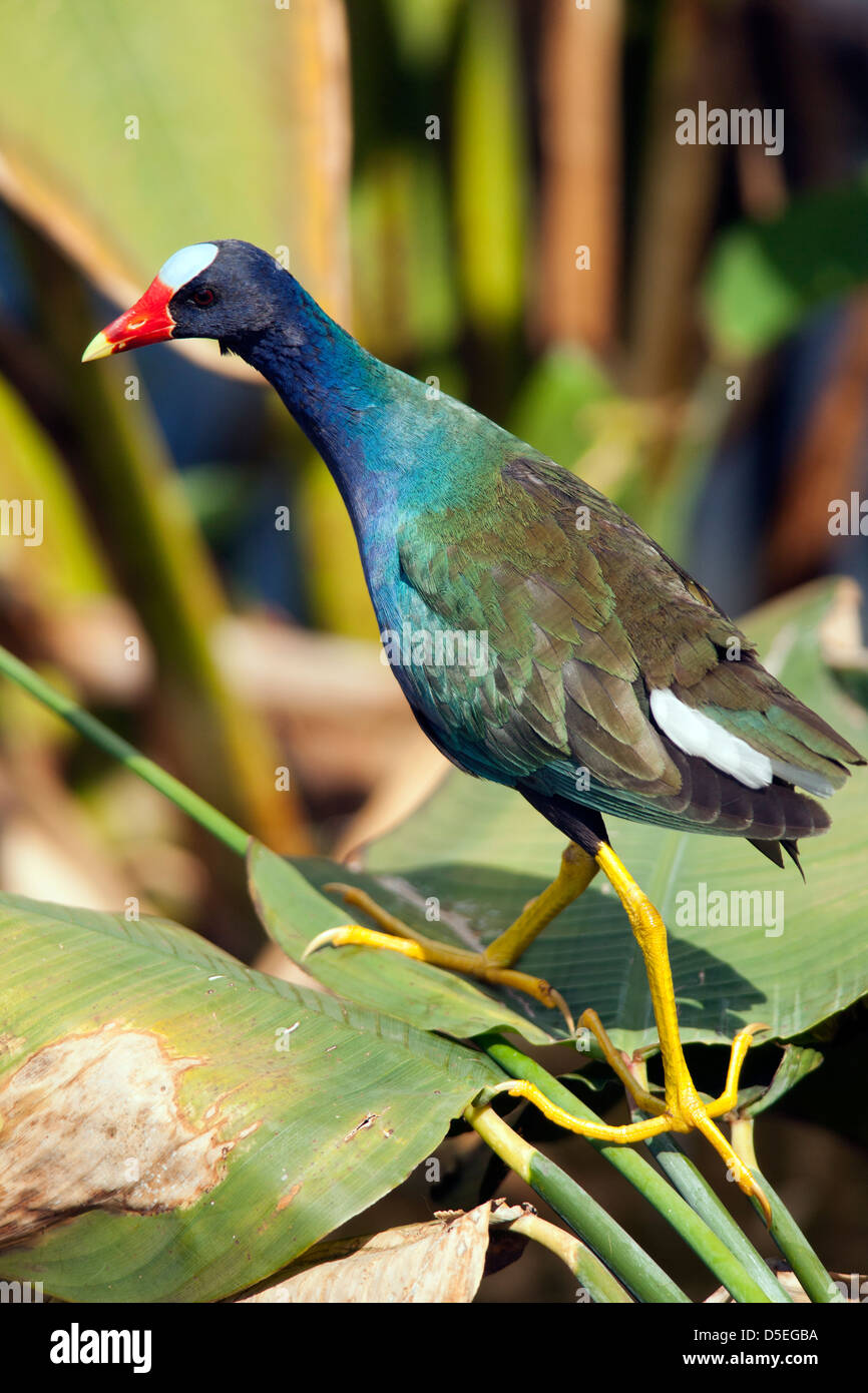 Purple Gallinule - Green Cay Wetlands - Boynton Beach, Florida USA Stock Photo