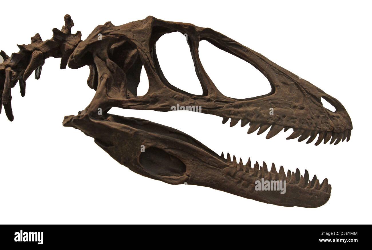 Deinonychus Skull - Stock Image