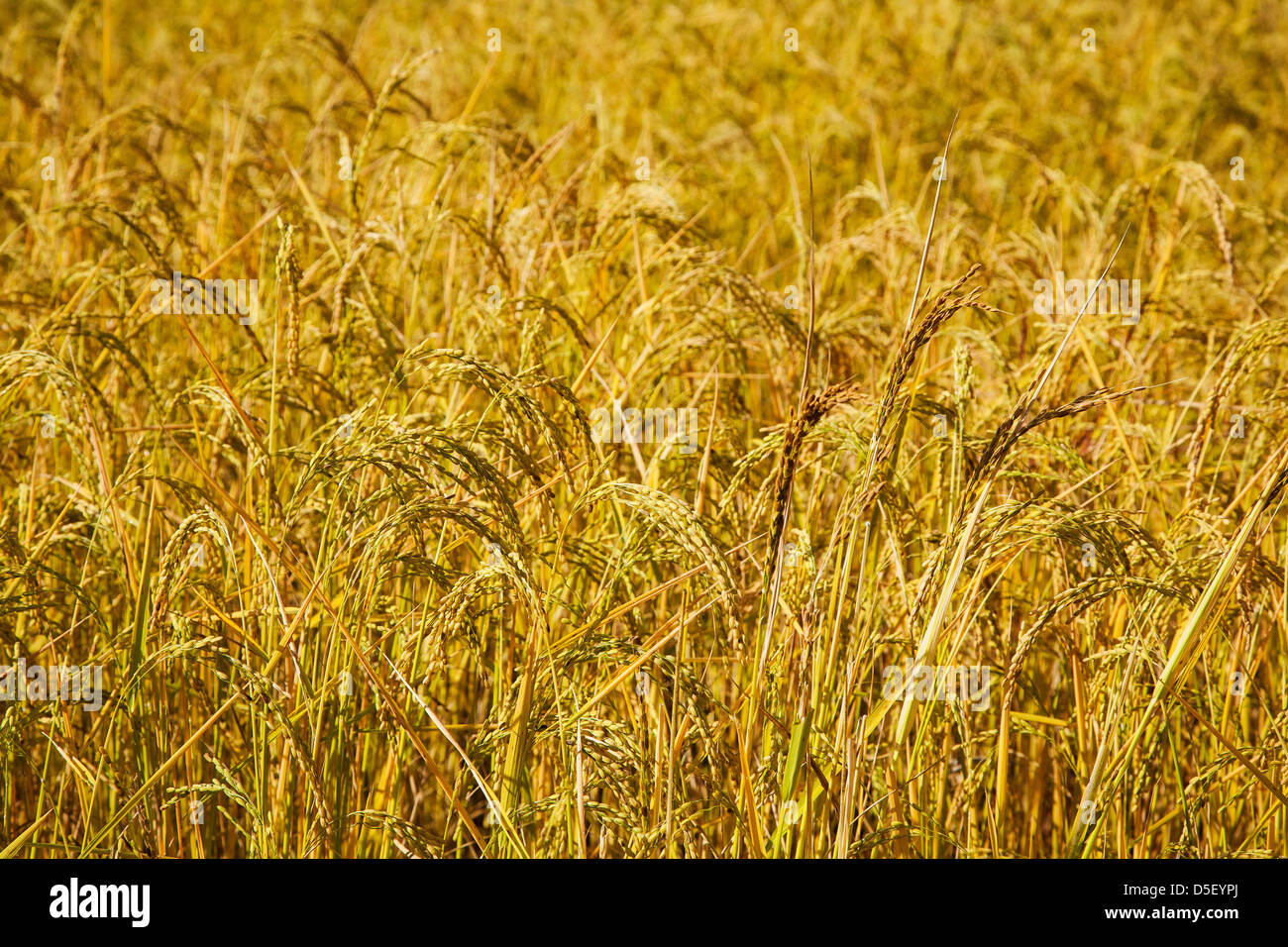 Rice field in the Punakha Valley. Bhutan. - Stock Image
